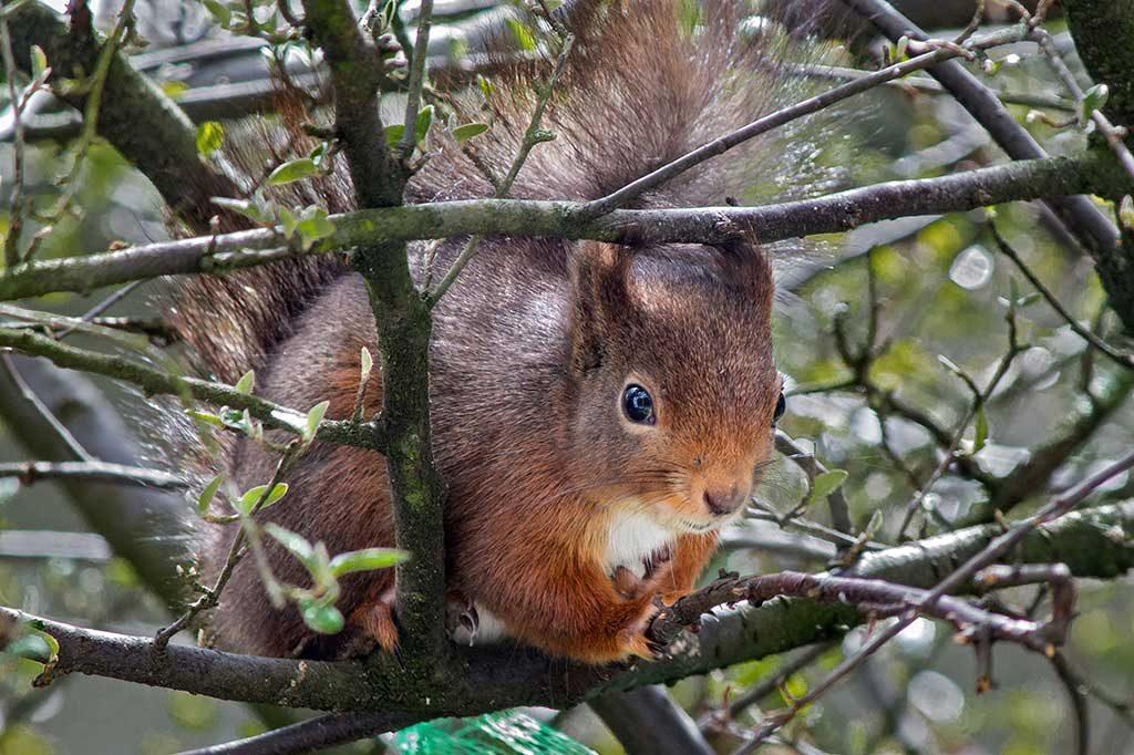 Karlchen, ein schokobraunes Eichhörnchen