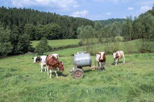 Kühe am Weltende-Weg