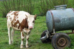 Kuh am Weltende-Weg