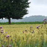 Weizenfeld im Regen